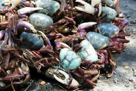 Ibama: Captura do caranguejo-uçá está proibida até dia 21