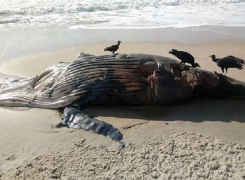 Porto Seguro: Baleia é encontrada morta na praia da Aldeia Barra Velha