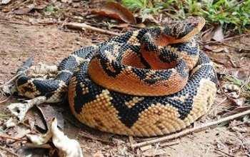 Una: Cobra Pico-de-Jaca é capturada próximo ao abrigo de idosos