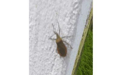 """Una: Infestação de inseto parecido com o """"barbeiro"""" preocupa moradores do bairro Sucupira"""