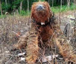 Vídeo: Bicho-preguiça é encontrado com coleira de monitoramento em Una
